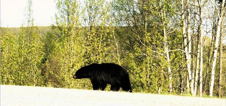 canadian bear